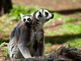 Ring Tailed Lemur 05 - June 12 by mszafran