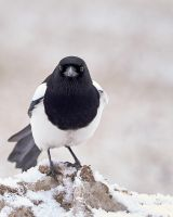 Magpie -Eyes by JestePhotography