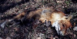 death of a fox by MisanthropicBastard