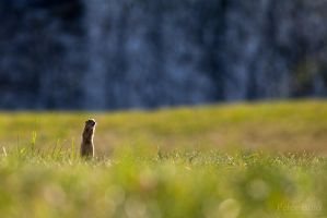 European ground squirrel IV. by xBajnox