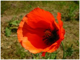 Corn Poppy by Fox82