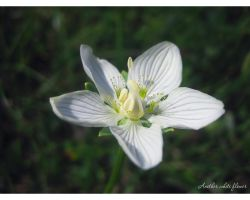 Another white flower by love1008