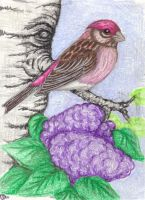 Purple finch by Dodo-Butt