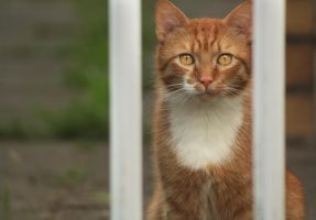 Ginger Cat by lilyjay