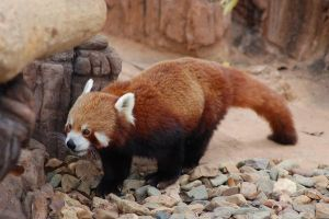 Red panda 13 by Chunga-Stock