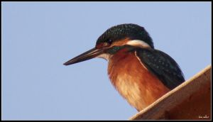 Kingfisher by saffi9