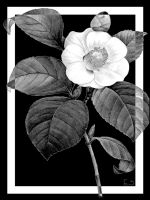 Black and White Flower Right by BL8antBand