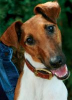 Smooth Fox Terrier - Firefly by WolfScribe