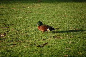 Chestnut Teal Duck by Psittacidae13