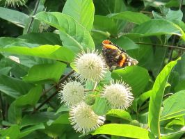 Red Admiral Butterfly on Buttonbush 8 by Windthin