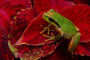 Little Tree Frog by swashbuckler