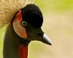 Crowned Crane by Yslen