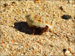 Hermit crab at Korotogo beach in Fiji by vinter-stjarna