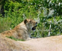 Lion 05 by Unseelie-Stock