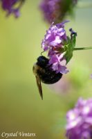 Bee on Purple Latana by poetcrystaldawn
