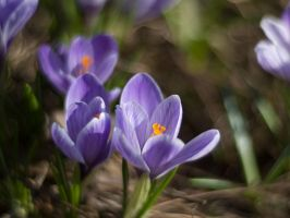 Crocus by Swan-Lake