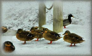 Cold Ducks by TimLaSure