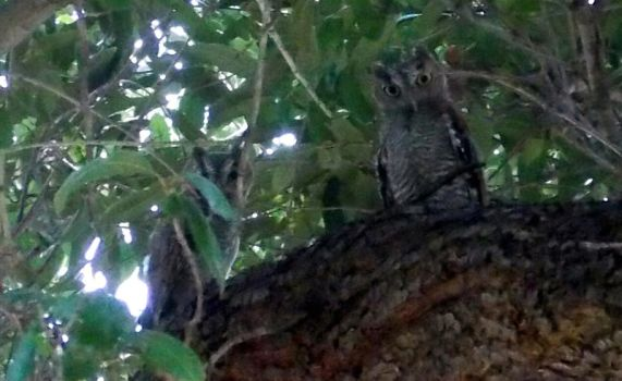 Pair of baby Owls by MissGypsyMomma