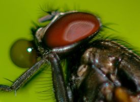 House Fly with Drop of Water by otas32