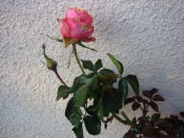 A rose is a rose is a rose by tundra-timmy