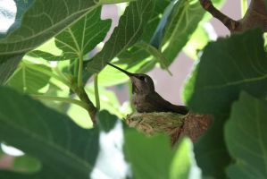 Hummingbird sitting in nest by icantthinkofaname-09
