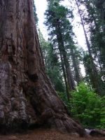 Giant Sequoia Tree 2 by SalsolaStock