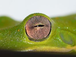 Tree Frog eye.., by duggiehoo