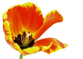 Tulip Series 2 by Stolte33