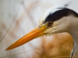 Grey Heron 00 - Mar 12 by mszafran