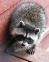 Stock: Racoon I by Stock-By-Michelle