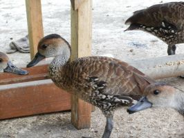 West Indian Whistling Ducks 3 by yodana