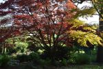 Under The Spreading Red Maple Tree At Heathfield by aegiandyad