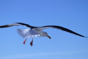 Segal In flight by WesHPhotography