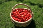 basket of cherries by monika-es-stock