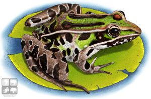 Southern Leopard Frog by rogerdhall