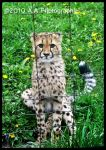 Baby Cheetah by ThrashingZombie