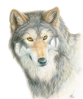 Wolf Portrait June 2010 by chenneoue