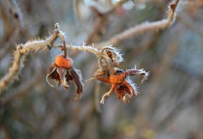 Dry plants with frost by OOOri