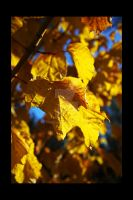 Golden leaves by Comane