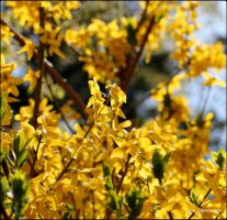 Sun-Kissed Forsythia by SilkenWinds