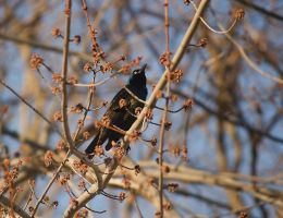Common Grackle April - 2014 - 1 by toshema