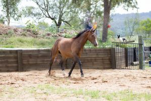 KM Brown trot front 3/4 ears up by Chunga-Stock