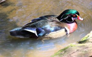 American wood duck by Amarantheans