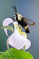Snowberry Clearwing - Hemaris diffinis by ColinHuttonPhoto