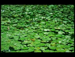 Lilly Pads by devianb