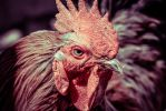 Angry Rooster by PJohnny