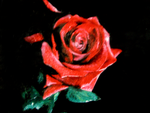 red rose by naitsabex