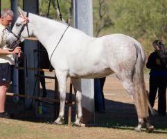 STOCK - 2014 Andalusian Nationals-49 by fillyrox