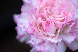 fresh carnation by funkl