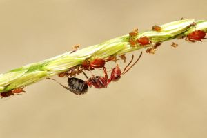 Ant Herding Aphids by Japers